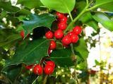 Navidad, ¿buen momento para plantar?